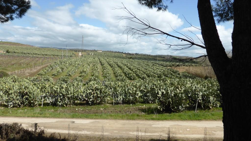 P1070262 Cactusplantage
