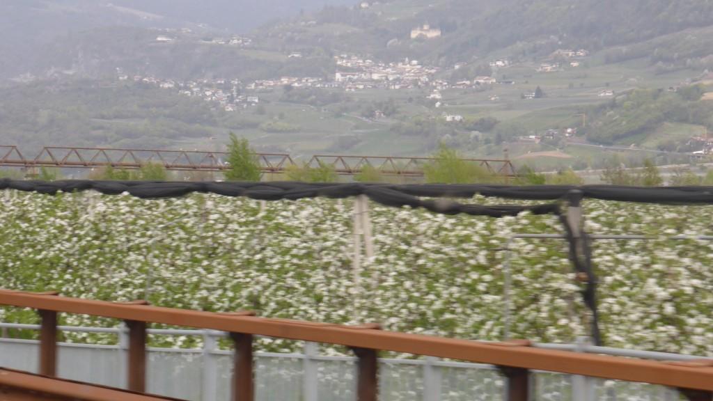 P1080019 de bloesem in het Trentino-dal